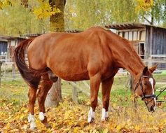 beautiful brown horse on the pasture in autumn