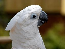 white cockatoo head on blurry background