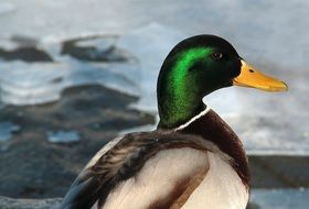 duck with a bright green head