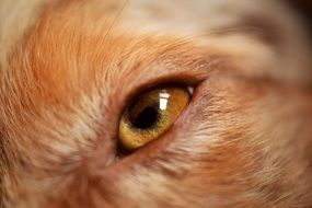 eye of australian shepherd