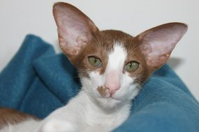 oriental shorthair baby cat