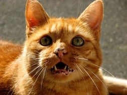 ginger domestic cat close-up