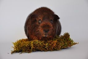 guinea pig on the piece of grass