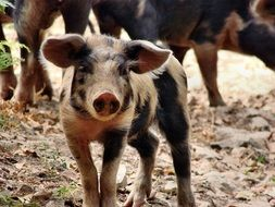 spotted pig on a farm close up
