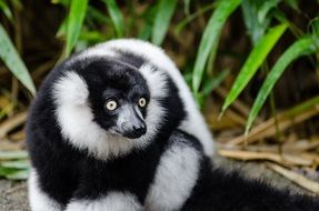 black and white ruffed lemur in the rainforest