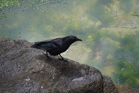 black raven sits on a gray stone by the lake