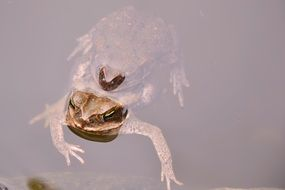 brown toad in the pond