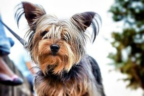portrait Yorkshire Terrier