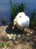 Swan on nest with eggs at water