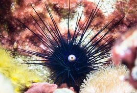 black sea urchin at the bottom