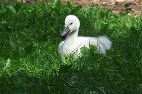 white duckling in green grass