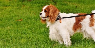 leashed cavalier king charles spaniel on the green house