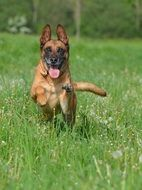 belgian shepherd dog runs in a green meadow