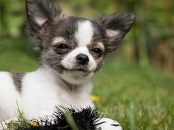 chihuahua puppy on the meadow