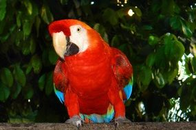 Arara in Brazilian fauna