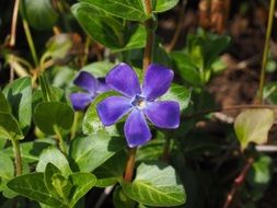 violet periwinkle flower in sunny day