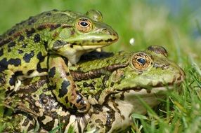 mating two frogs in the garden