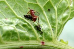 red garden ant on the leaf