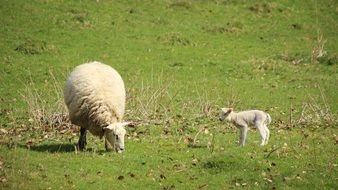 fluffy sheep with lamb