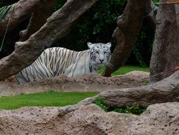 unmatched White Bengal Tiger