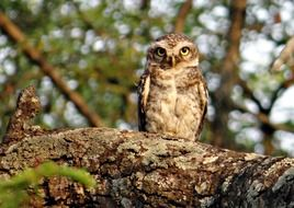 spotted owlet on the tree