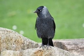 Jackdaw Black Bird