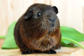 sweet brown guinea pig