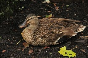 brown duck is resting on the shore