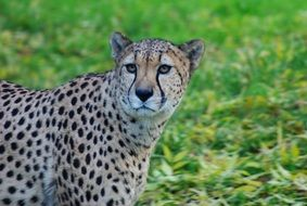 Leopard on a green glade in Africa