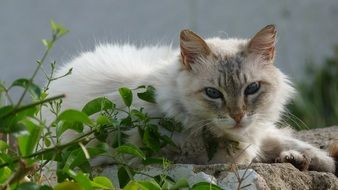 charming Grey White Domestic Cat