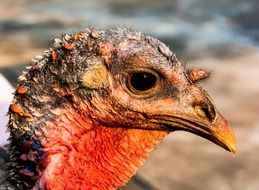 portrait of a turkey