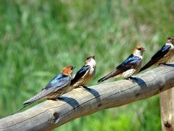 swallows stand on a wooden stick