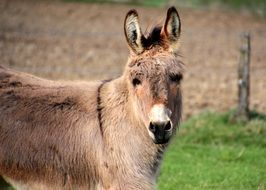 domestic donkey