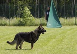German Shepherd Standing on a competition