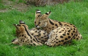 Two Servals Felines Cats Big