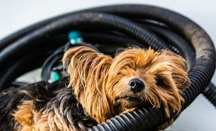 Yorkshire terrier resting on the hose
