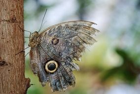 Owl Butterfly closeup free photos