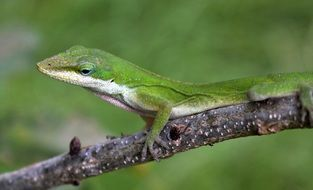 green carolina anole