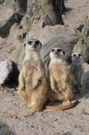 Meerkats in a zoo