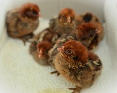 just hatched chicks