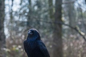 black crow in the forest
