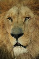 photo of a muzzle of a lion with tired eyes
