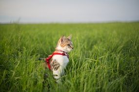 young cat with a leash on a green meadow