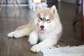 young fluffy puppy husky
