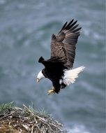 bald eagle flying above the water