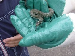 grass snake on green rubber gloves