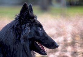 Belgian Sheepdog Dog