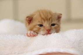 sleepy young red kitten
