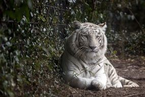 deliciously beautiful White Tiger