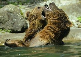 brown bears playing in a zoo